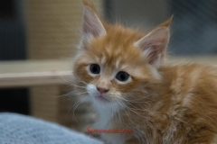 Surya-maine-coon-md0922(1)-10008