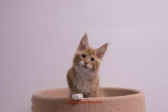 Surya-maine-coon-md0922(1)-10010