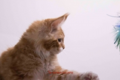 Surya-maine-coon-md0922(1)-10012