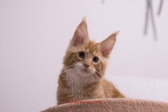 Surya-maine-coon-md0922(1)-10013