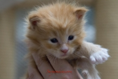 Surya-maine-coon-md0922(3)-10003