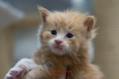 Surya-maine-coon-md0922(3)-10004