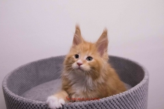Surya-maine-coon-md0922(3)-10005