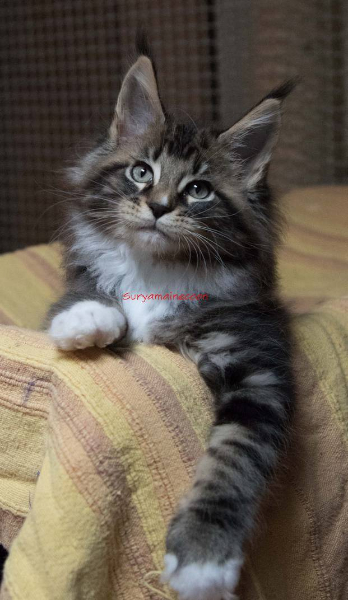 surya-maine-coon-brown-bianco2