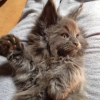 surya-maine-coon-will-smith7