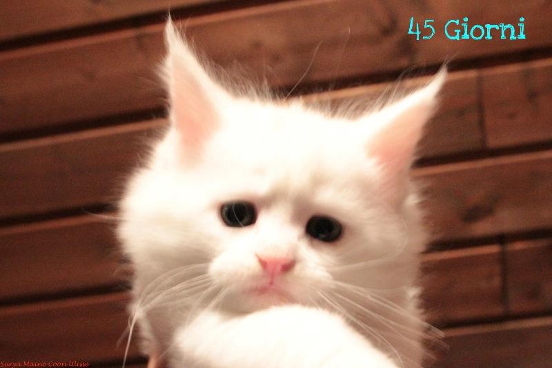 surya-maine-coon-ulisse-45gg2