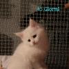 surya-maine-coon-ulisse-45gg3
