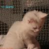 surya-maine-coon-ulisse-45gg5